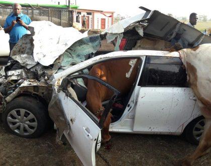 Freakiest accident ever! 9 cows reduce a Toyota Fielder to useless scrap metal in a crazy accident on Ruiru-Kiambu Road (Photos)