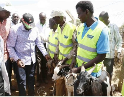 Netizens ask questions as William Ruto walks into goat auction with Kes 12 million in a suitcase and spends it all to buy goats