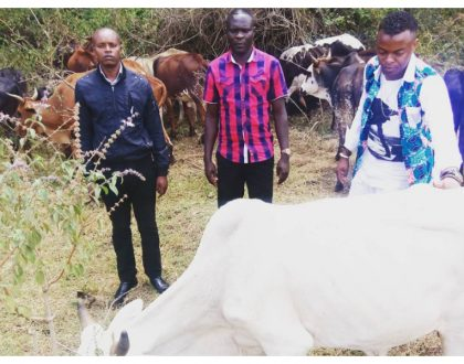 """Diamond hakulipa mahari"" Ringtone buys 42 cows which he wants to pay as dowry for Zari"