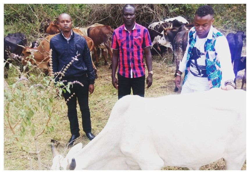 """Diamond hakulipa mahari"" Ringtone buys 42 cows which he wants to pay as dowry for Zari"