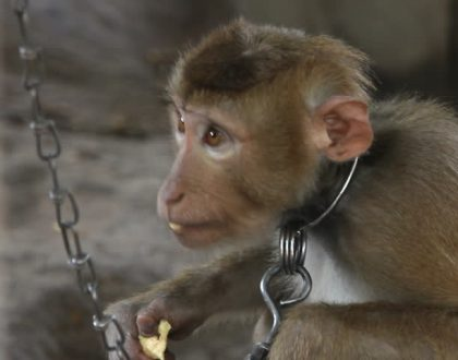 Two Mombasa men jailed for selling a 2-month-old monkey through Facebook, look at the amount they wanted