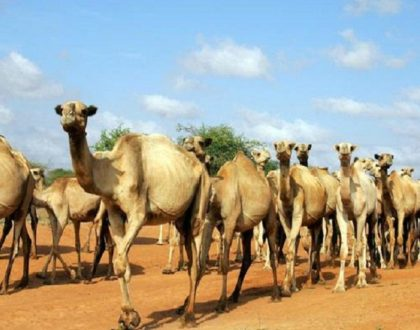The rich Arabic teachings and inspiration in The Tale of the Arab and the Camel