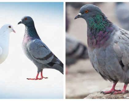 The story of an astute neighbor who used doves and pigeons to serve life-transforming lessons